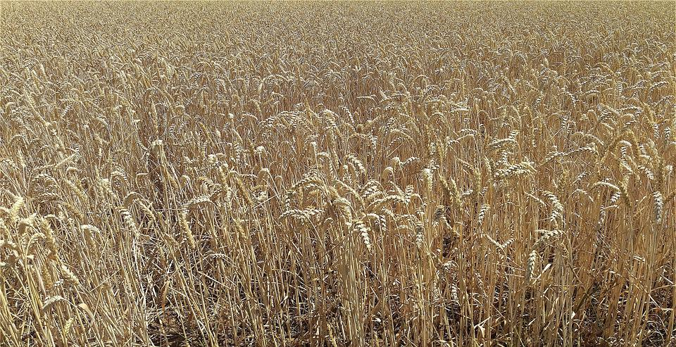 Field, Cereals, Agriculture, Nature, Field Crops