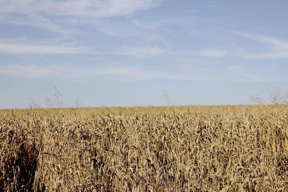 Field, Cereals, Nature, Field Crops, Agriculture