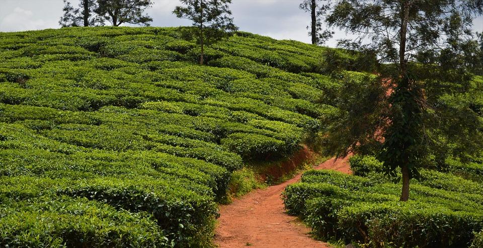 Tea Plantation, Agriculture, Nature, India