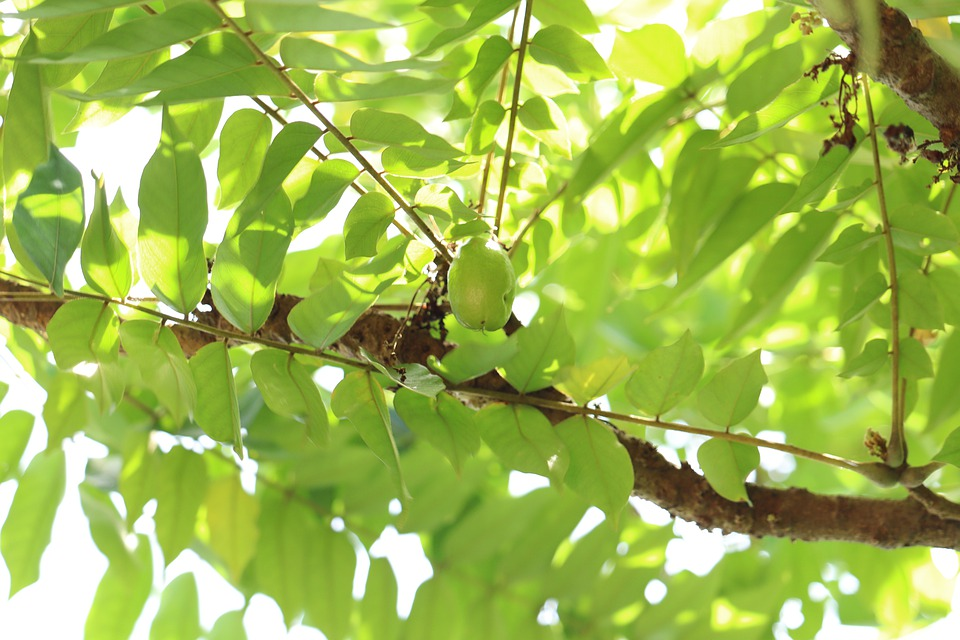 Fruit, Tree, Bilimbi, Kerala, Nature, Agriculture