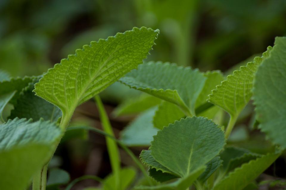 Indian Borage, Ajwain, Ayurveda, Plant, Green, Nature