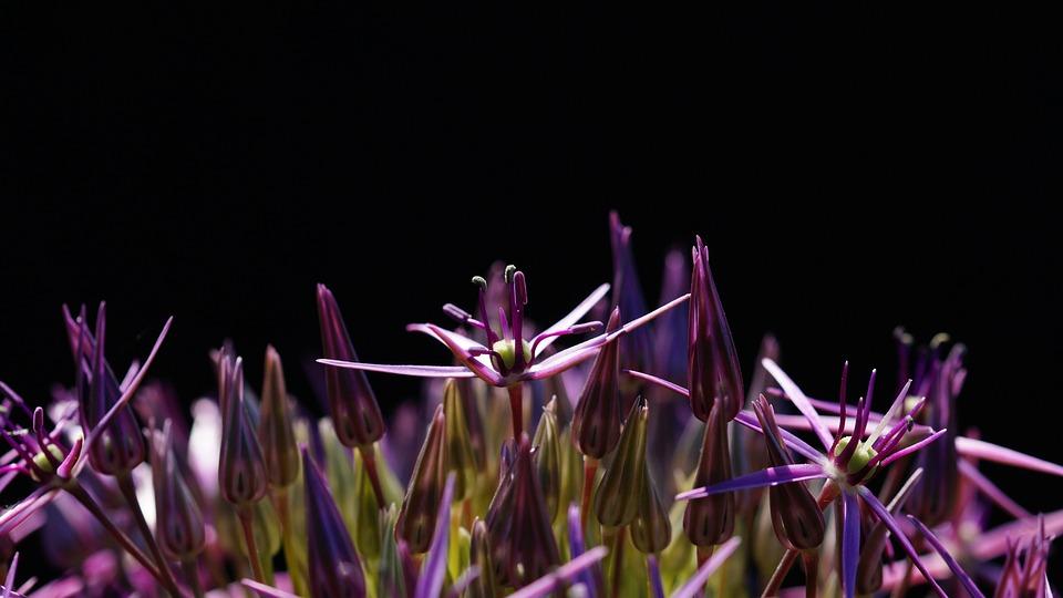 Nature, Allium, Allium Christophii, Starlight-lauch
