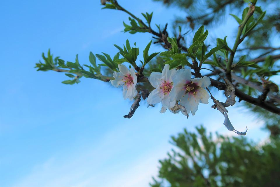 Tree, Flower, Nature, Plant, Blooming, Almond