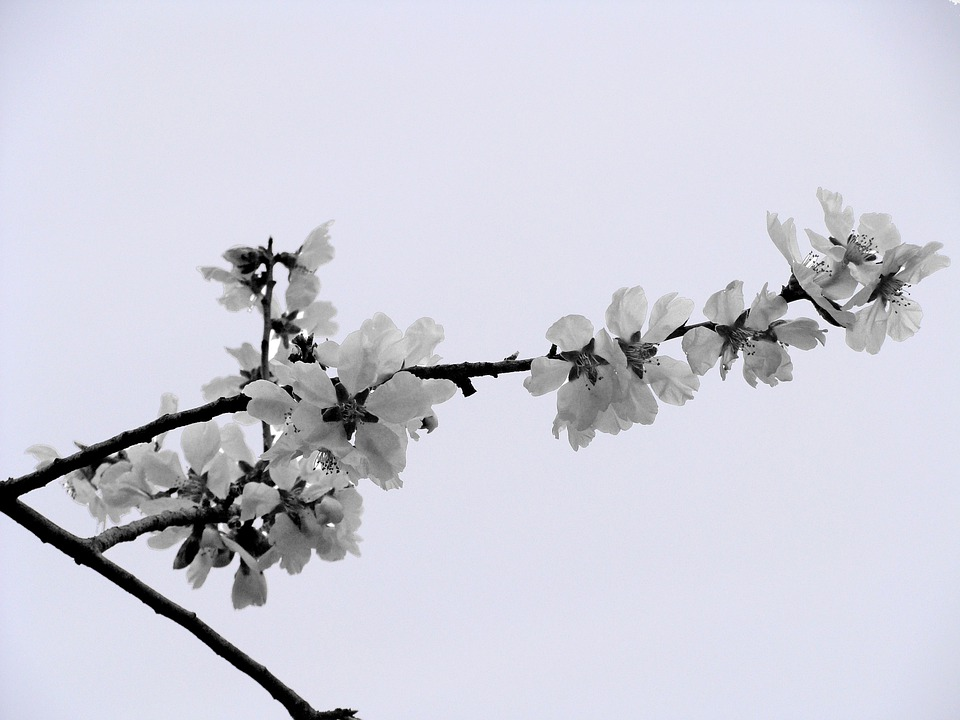 Almond Tree, Almond Flower, Nature, Spring