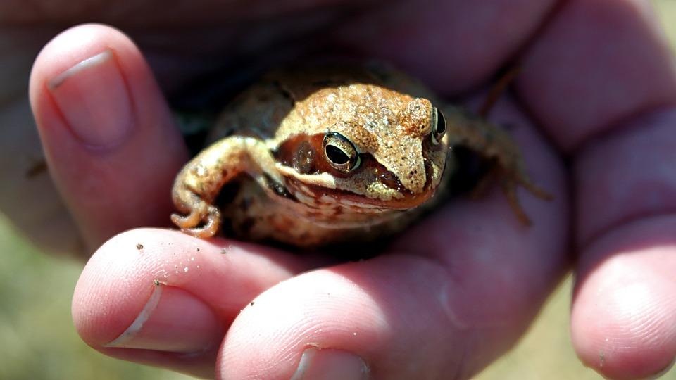 Amphibians Bezogonowe, Nature, Amphibian