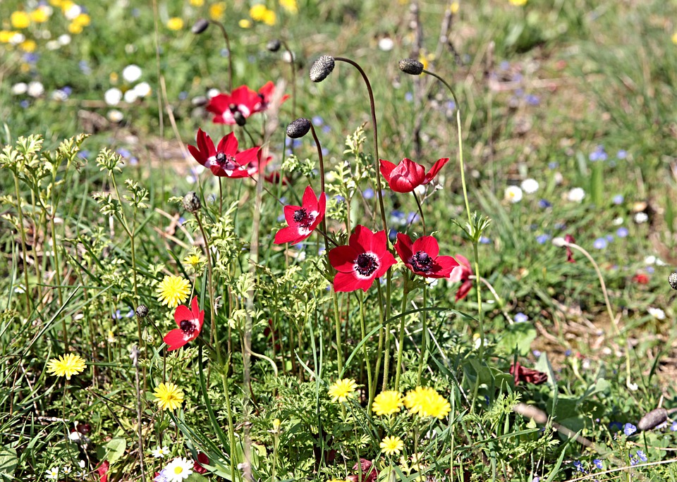 Anemone, Anemones, Nature, Red, Elegant, Countryside