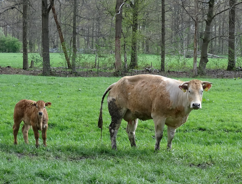 Calf, Little Calf, Meadow, Animals, Nature, Animal