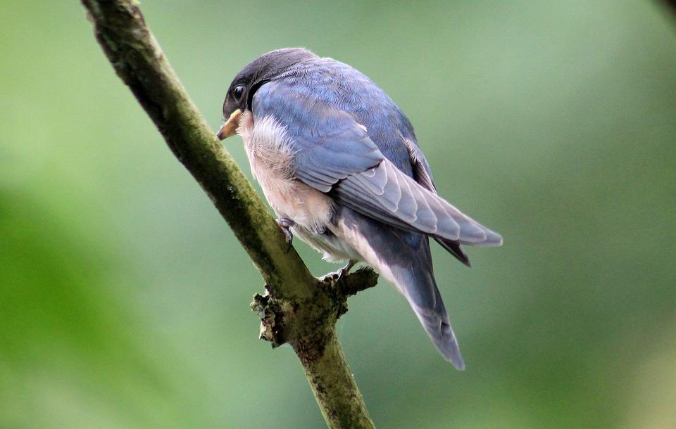 House Martin, Bird, Animal, Nature