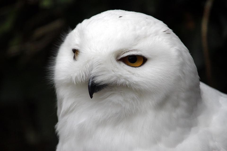 Bird, Animal World, Nature, Spring, Animal, Snow Owl