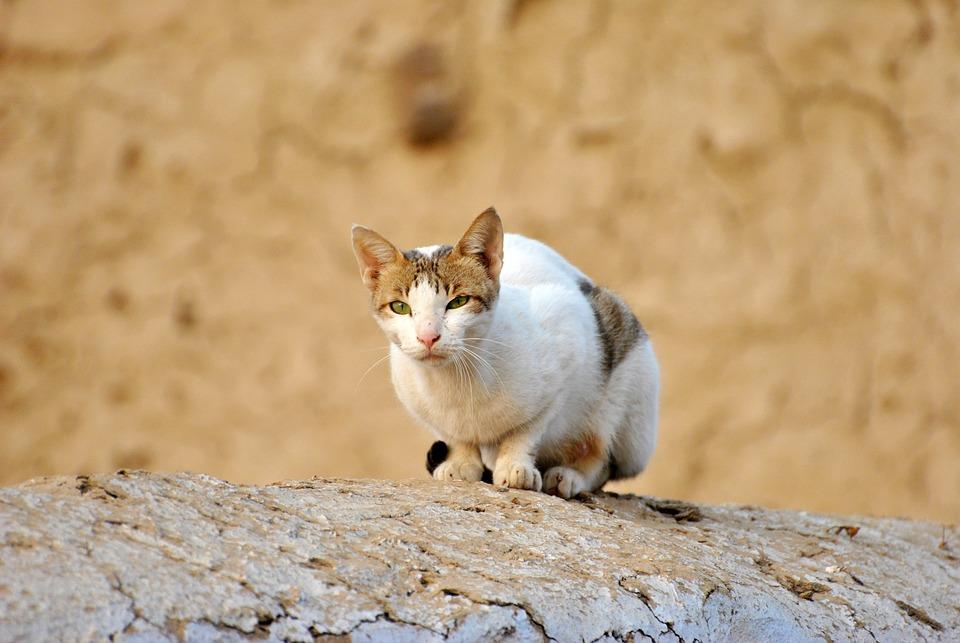 Cat, Brown, Wall, Animal, Nature, White Cat, Brown Cat