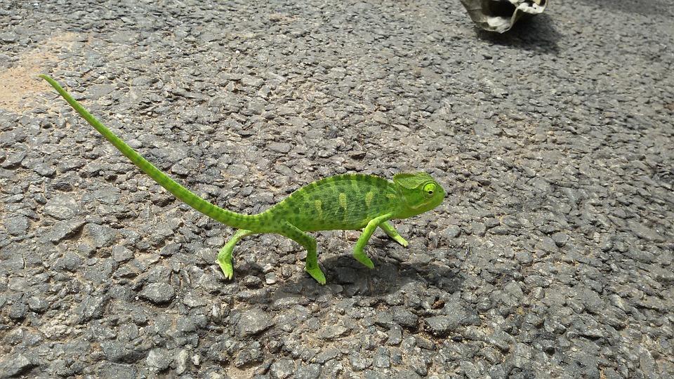 Chameleon, Lizard, Green, Animal, Reptile, Nature