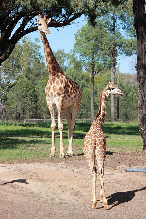 Giraffe, Animal Family, Zoo, Animals, Nature, Giraffes
