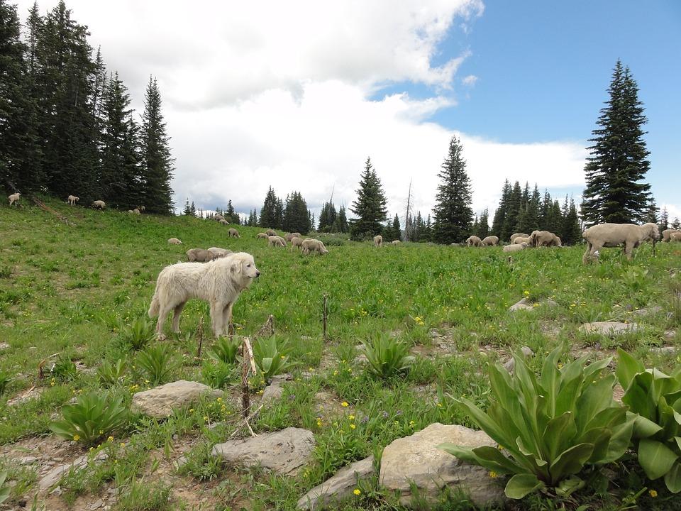 Sheep, Dog, Nature, Outdoor, Animal, Mountain, Meadow