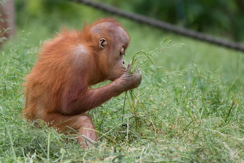 Monkey, Orang-utan, Nature, Hairy, Baby, Orange, Animal