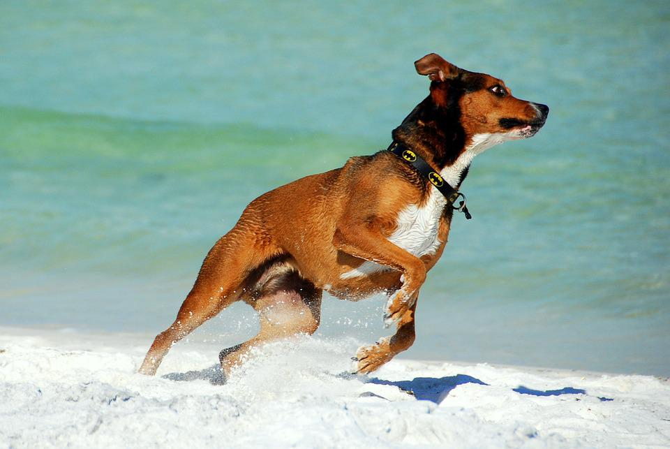 Dog, Animal, Beach, Pet, Canine, Domestic, Nature