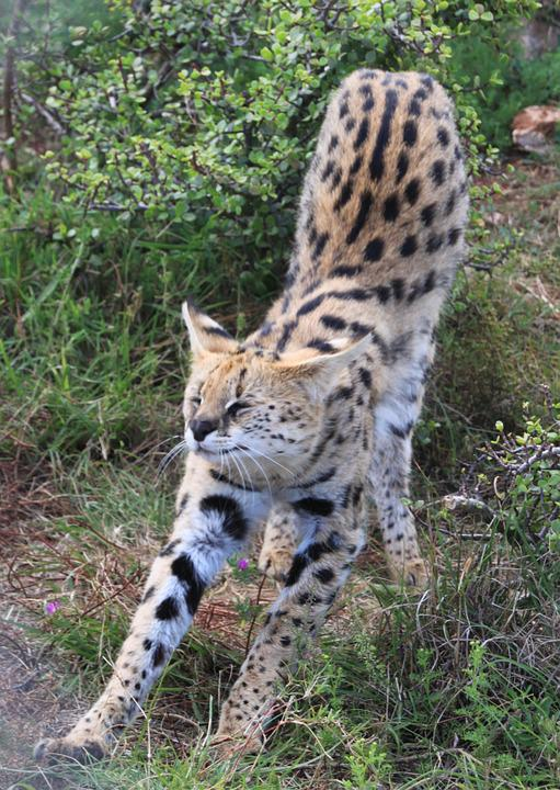 Serval, Cat, Predator, Animal, Wild, Nature