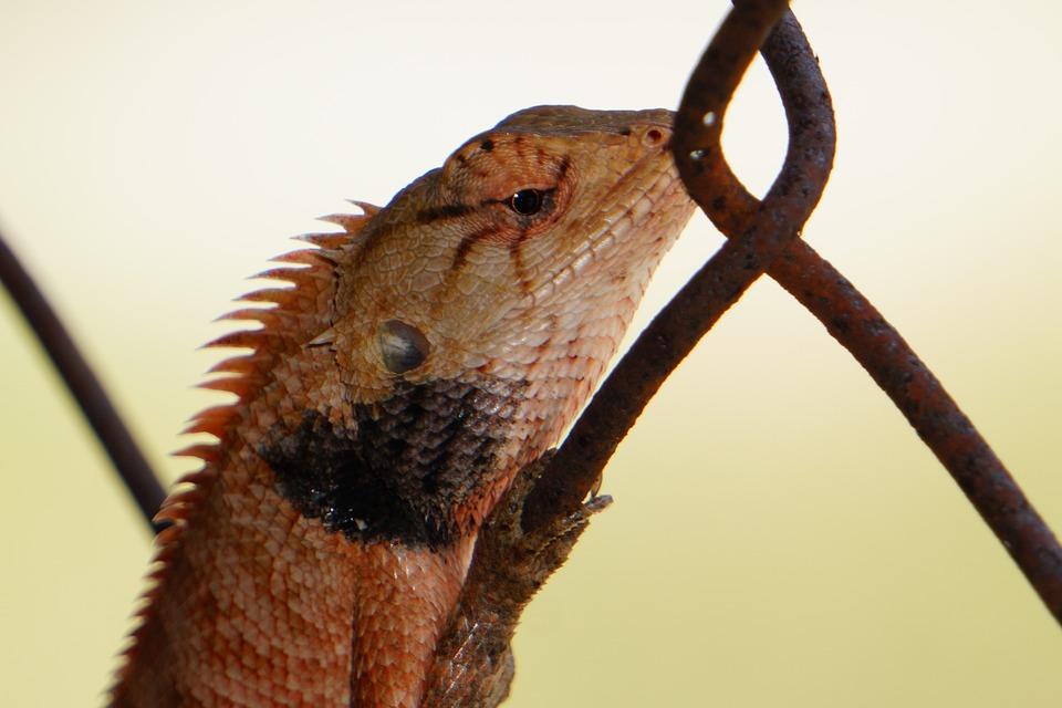 Lizard, Animal, Reptile, Iguana, Nature