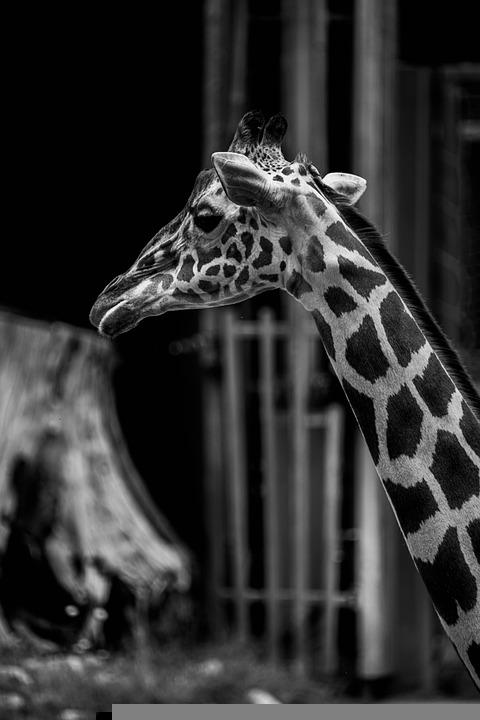 Giraffe, Zoo, Africa, Animal, Nature, Uganda, Safari