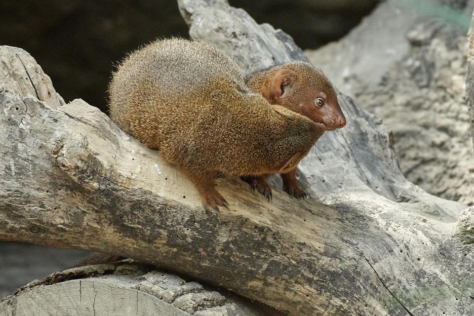 Mongoose, Nature, Animal World, Mammal, Animal, Small
