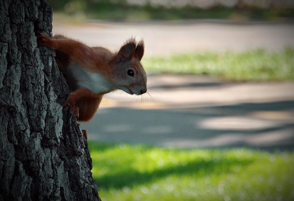 Squirrel, Animal, Rodent Forest, Tail, Nature, Fur