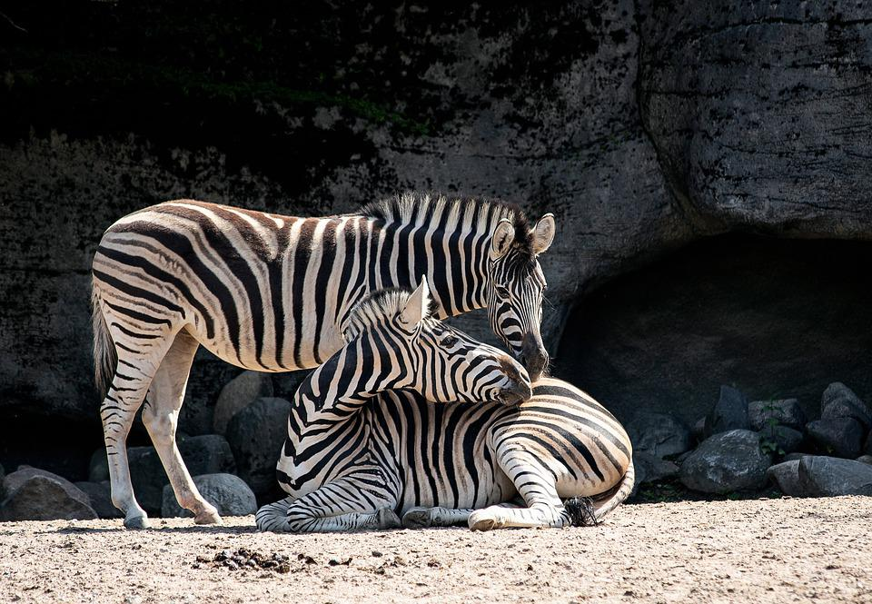 Zebra, Mammal, Animal, Animal World, Nature, Stripes