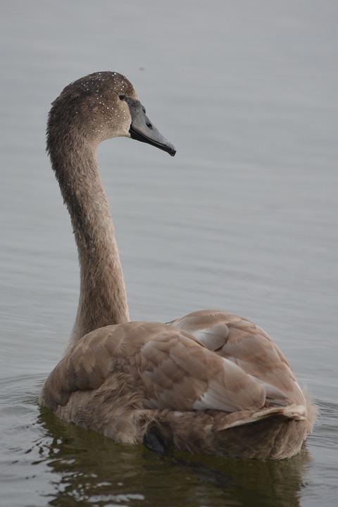 Animal, Nature, Swan, Whooper Swan, Waterfowl