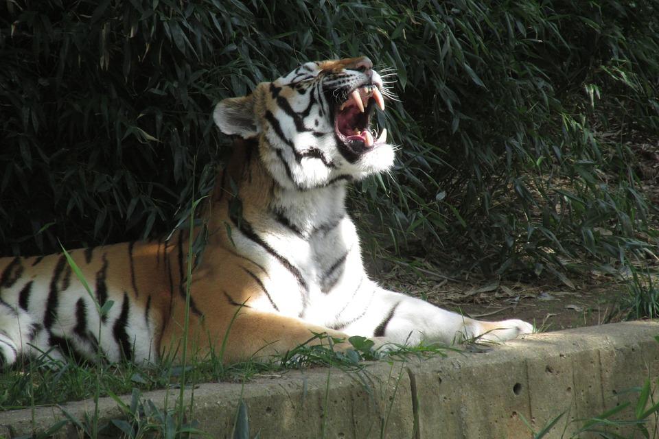 Tiger, Roar, Teeth, Cat, Animal, Predator, Nature