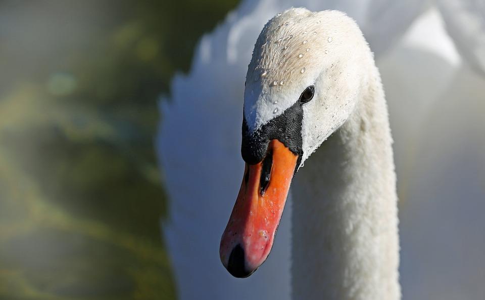 Swan, Bird, Lake, Animal, Water, White, Nature, Feather