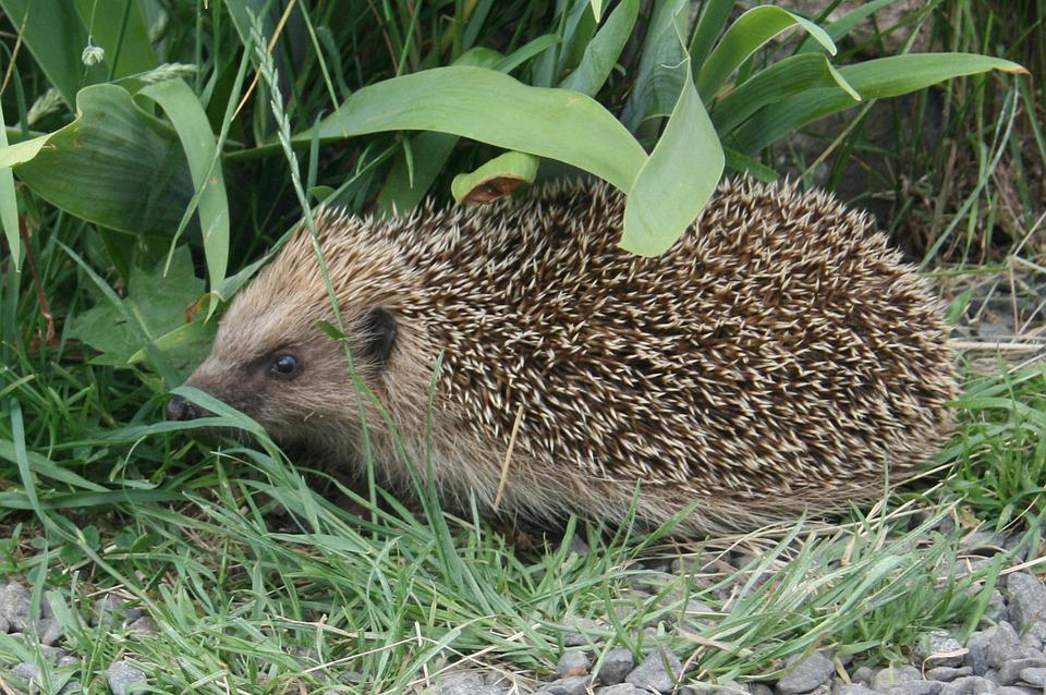 Nature, Hedgehog, Animal, Garden, Wild Animals, Look