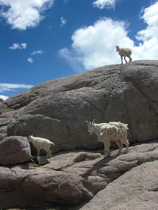 Goats, Mountain Goat, Animal, Nature, Wildlife