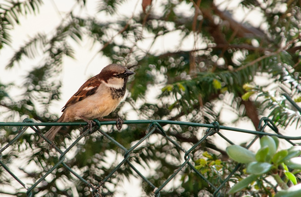 Sparrow, Sperling, Bird, Animal, Nature, Animal World