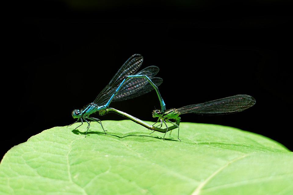 Dragonfly, Nature, Make Love, Animal World, Couple