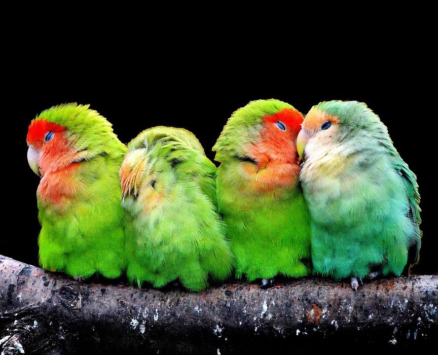 Parrots, Canaries, Birds, Nature, Animal World