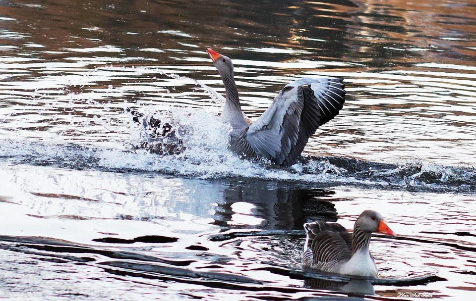 Waters, Bird, Nature, Animal World
