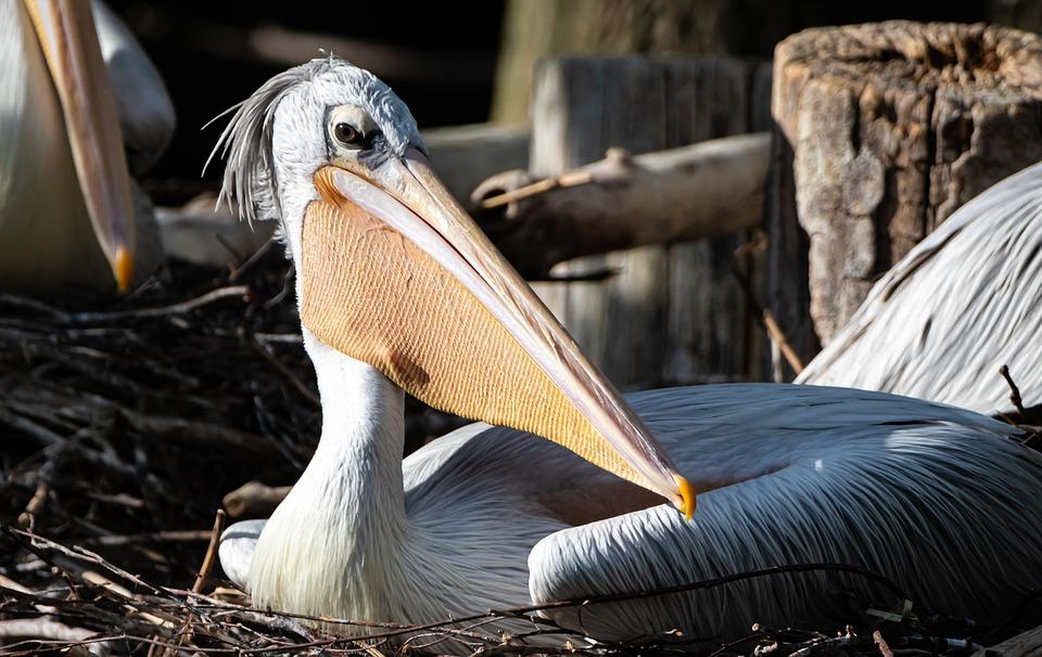 Pelikan, Bird, Nest, Bill, Animals, Nature