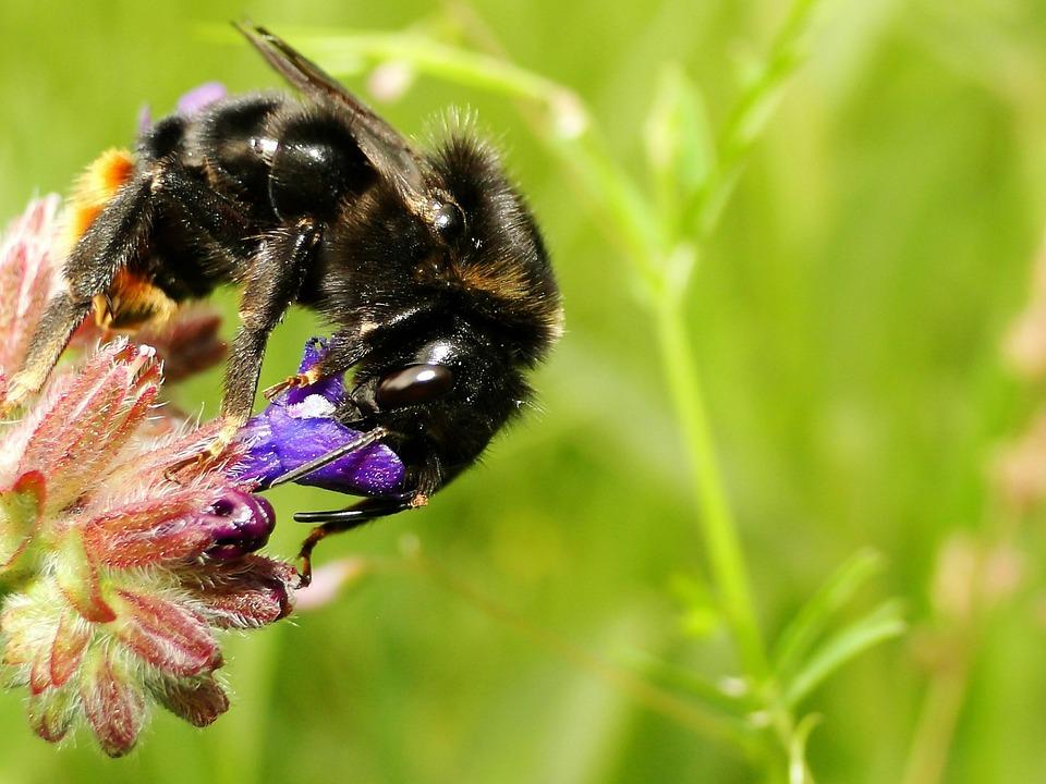 Apiformes, Nature, Insect, Honey, Bombus, Animals