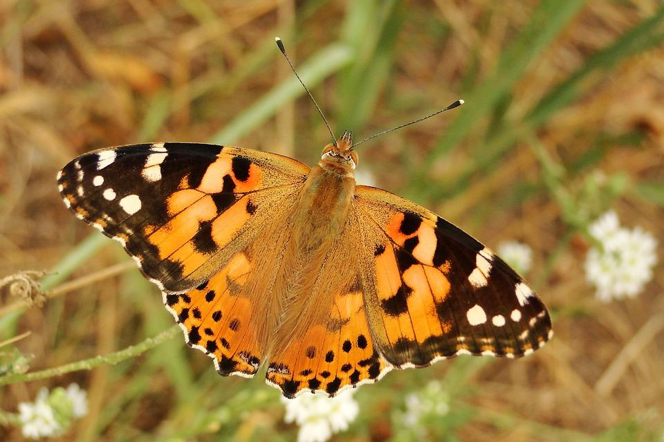 Nature, Butterfly Day, Insect, Animals, At The Court Of