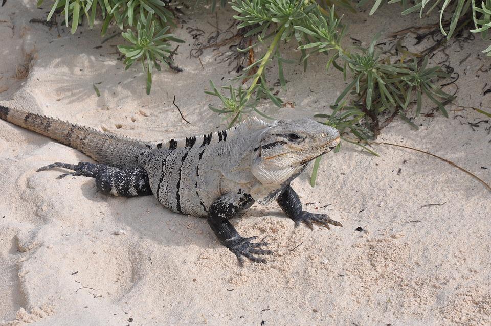 Nature, Animals, Beach, Lizard