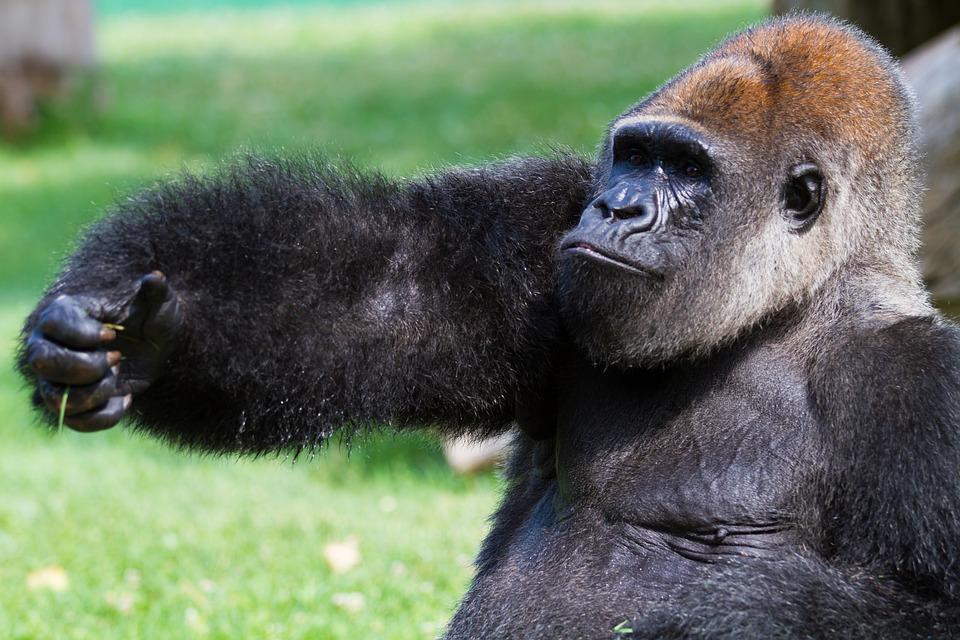 Animals, Nature, Monkey, Gorilla, Primate, Zoo