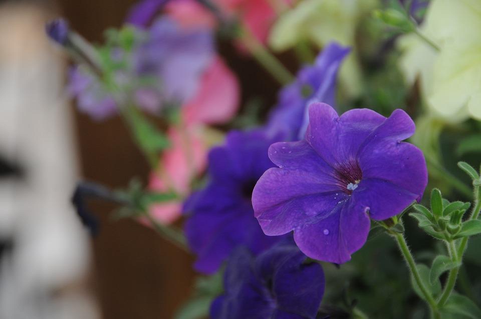 Anthurium, Flower, Nature, Flowers, Plants, Purple