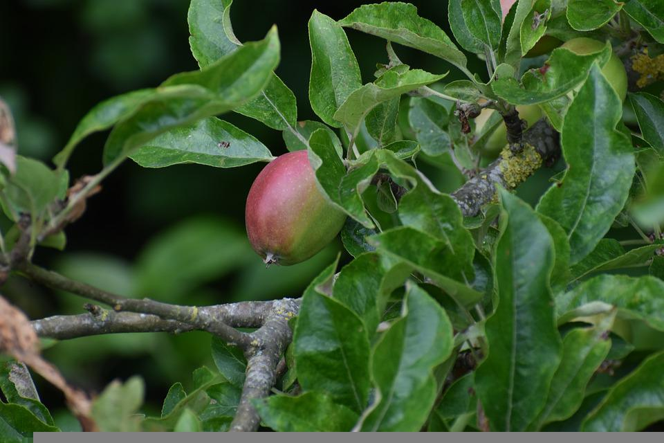 Apple, Fruit, Nature, Green, Red, Garden