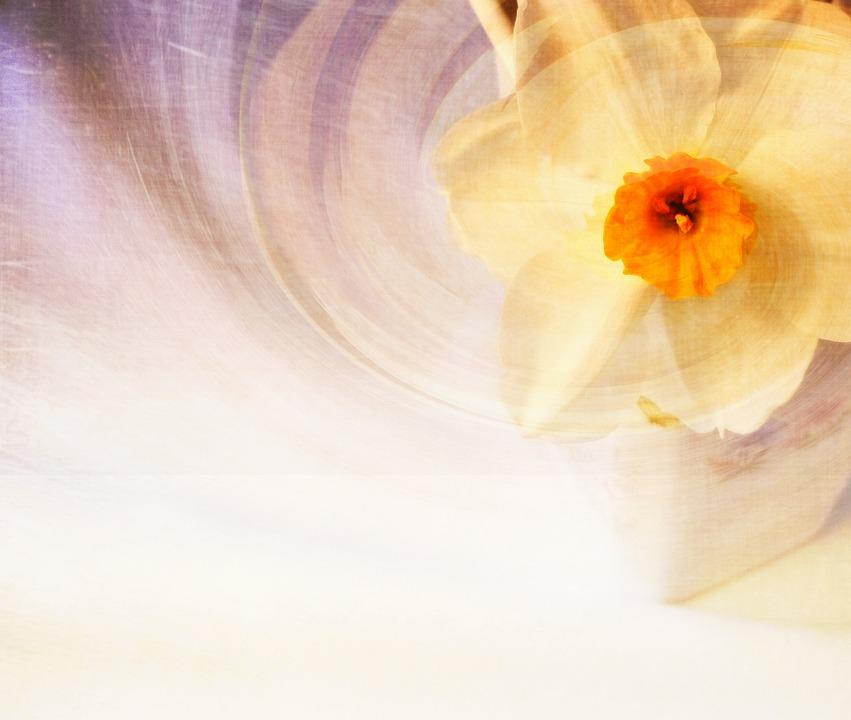 Daffodil, Flower, Spring, Nature, Design, Purple, Art