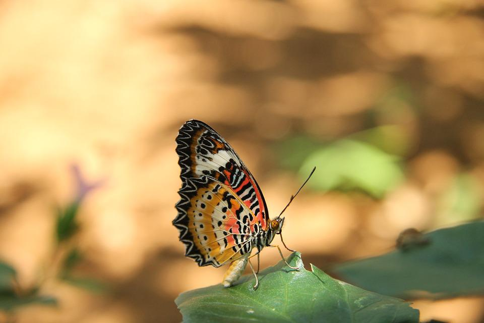 Butterfly, Asia, Nature, Insect, Thailand, Colorful