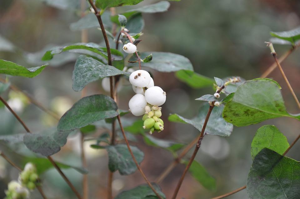Autumn, Berry, Bush, Branch, Greens, Nature