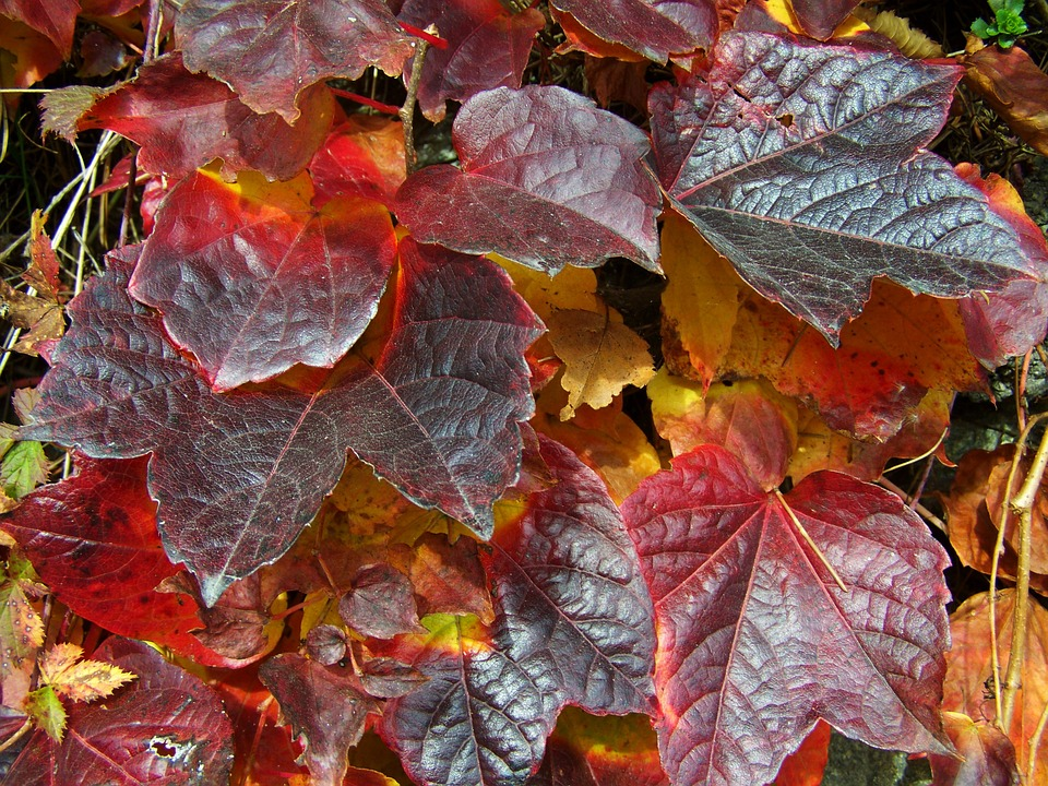 Grape Leaves, Autumn Colors, Nature