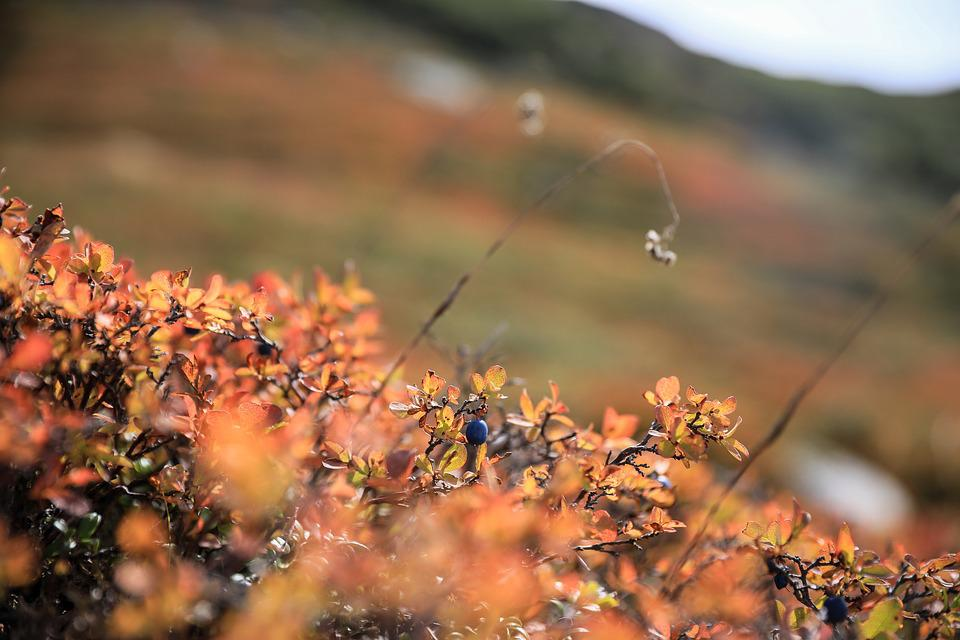 Blueberries, Autumn Colouring, Alpine Plant, Nature