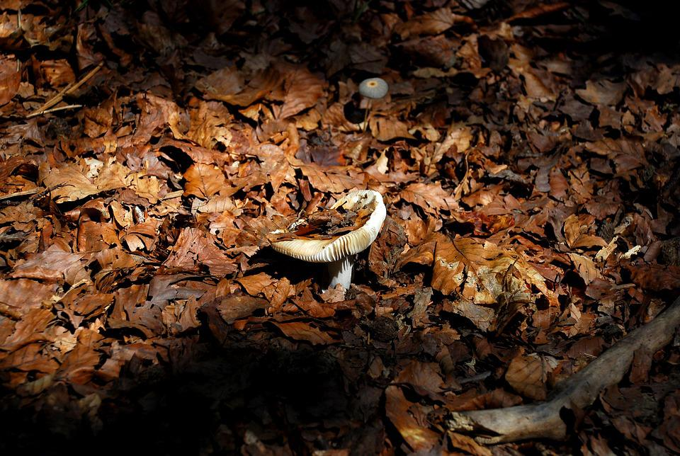 Mushroom, Autumn, Forest, Leaves, Nature, Fungi, Field