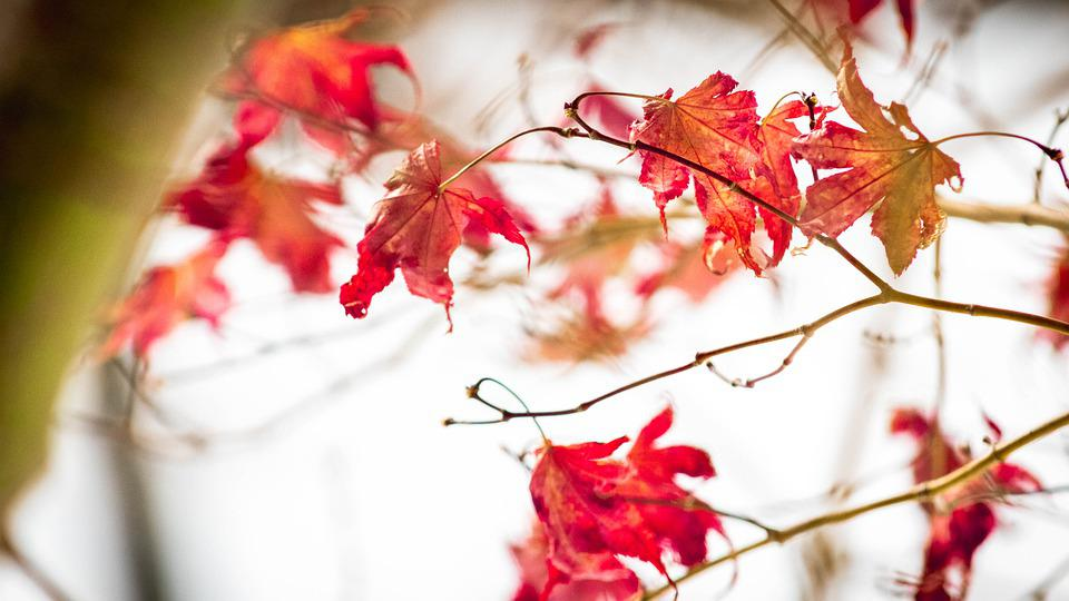 Fall, Leaves, Autumn, Nature, Tree, Leaf, Red, Maple