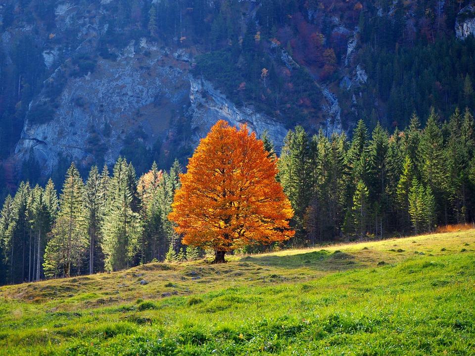 Nature, Tree, Maple Tree, Discoloration, Autumn