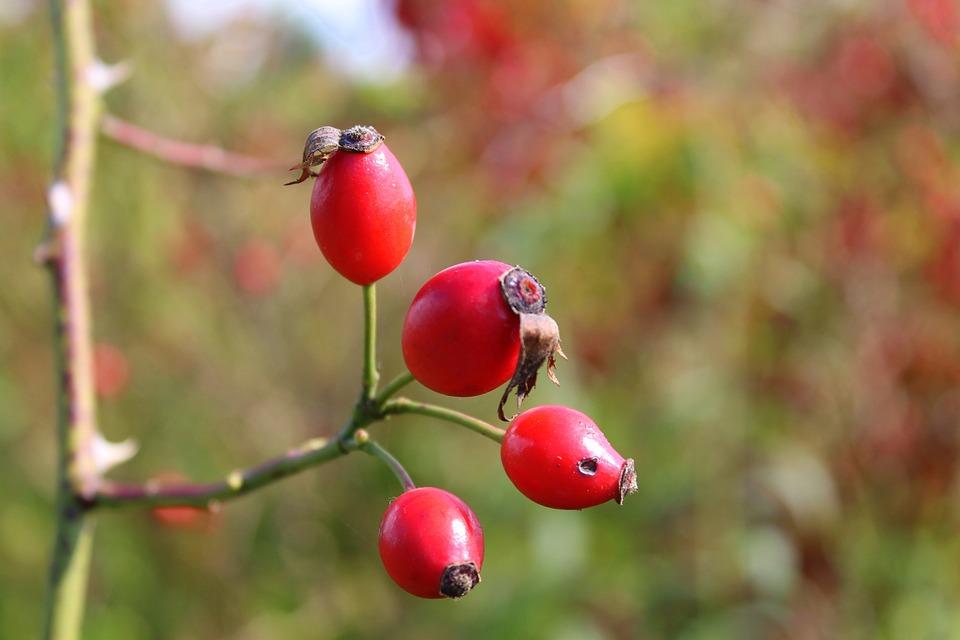 Wild Rose, Rose Hips, Autumn, Vitamin C, Plant, Nature